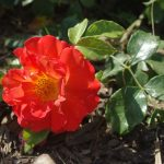 Rose 'Gebrüder Grimm' (Rosa species)