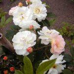Rose 'Ghislaine de Féligonde' (Rosa species)