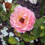 Rose 'Glücksburg' (Rosa species)