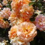 Rose 'Goldelse' (Rosa species)