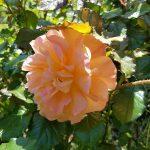 Rose 'Königin der Gärten' (Rosa species)