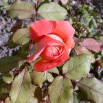 Rose 'Lady Emma Hamilton' (Rosa species)
