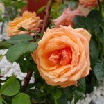 Rose 'Lady Marmalade' (Rosa species)