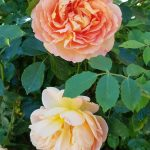 Rose 'Lady of Shalott' (Rosa species)