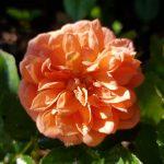 Rose 'Ninetta' (Rosa species)