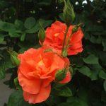 Rose 'Orange Dawn' (Rosa species)