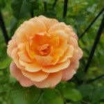 Rose 'Peach Melba' (Rosa species)