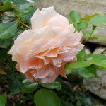 Rose 'Schöne vom See' (Rosa species)