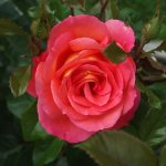 Rose 'Shanty' (Rosa species)