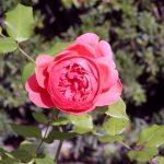 Rose 'Summer Song' (Rosa species)