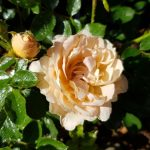 Rose 'Sweet Dream' (Rosa species)