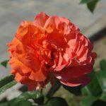 Rose 'Tea Time' (Rosa species)
