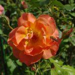 Rose 'Westerland' (Rosa species)