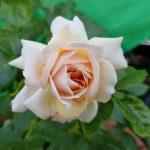 Rose 'Garden of Roses' (Rosa species)