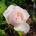 Rose 'Heritage' (Rosa species)