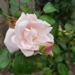 Rose 'New Dawn' (Rosa species)