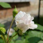 Rose 'The Albrighton Rambler' (Rosa species)