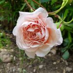 Rose 'William Morris' (Rosa species)