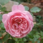 Rose 'Meilove' (Rosa species)