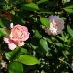 Rose 'Rosenfaszination' (Rosa species)