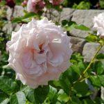 Rose 'Rosenfaszination' (Rosa species)