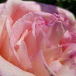Rose 'Souvenir de Baden-Baden' (Rosa species)