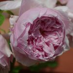 Rose 'Spirit of Freedom' (Rosa species)