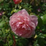 Rose 'Strawberry Hill' (Rosa species)