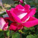 Rose 'Acapella' (Rosa species)