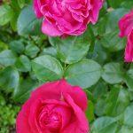 Rose 'Cherry Lady' (Rosa species)