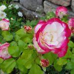 Rose 'Jubilé du Prince de Monaco' (Rosa species)