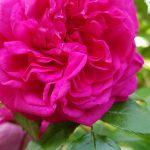 Rose 'Laguna' (Rosa species)