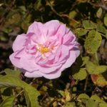 Rose 'Louise Odier' (Rosa species)