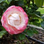 Rose 'Nostalgie' (Rosa species)