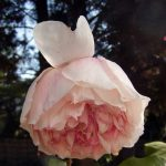 Rose 'Abraham Darby' (Rosa species)