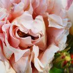 Rose 'Abraham Darby' (Rosa species)