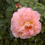 Rose 'Augusta Luise' (Rosa species)