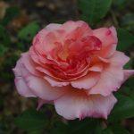 Rose 'Bernstein Rose' (Rosa species)