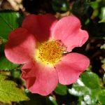 Rose 'Coco' (Rosa species)