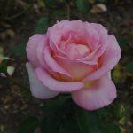 Rose 'Elle' (Rosa species)