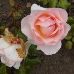 Rose 'Johann Strauß' (Rosa species)