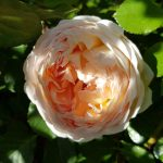 Rose 'Jude the Obscure' (Rosa species)