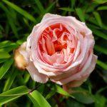 Rose 'René Goscinny' (Rosa species)