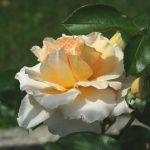 Rose 'Sangerhäuser Jubiläum' (Rosa species)