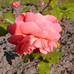 Rose 'Tea Clipper' (Rosa species)