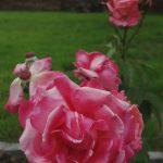 Rose 'Vedette' (Rosa species)