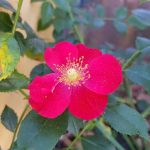Rose 'Alexander von Humboldt' (Rosa species)