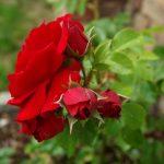 Rose 'Amadeus' (Rosa species)