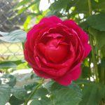 Rose 'Ascot' (Rosa species)