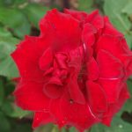 Rose 'Barkarole' (Rosa species)